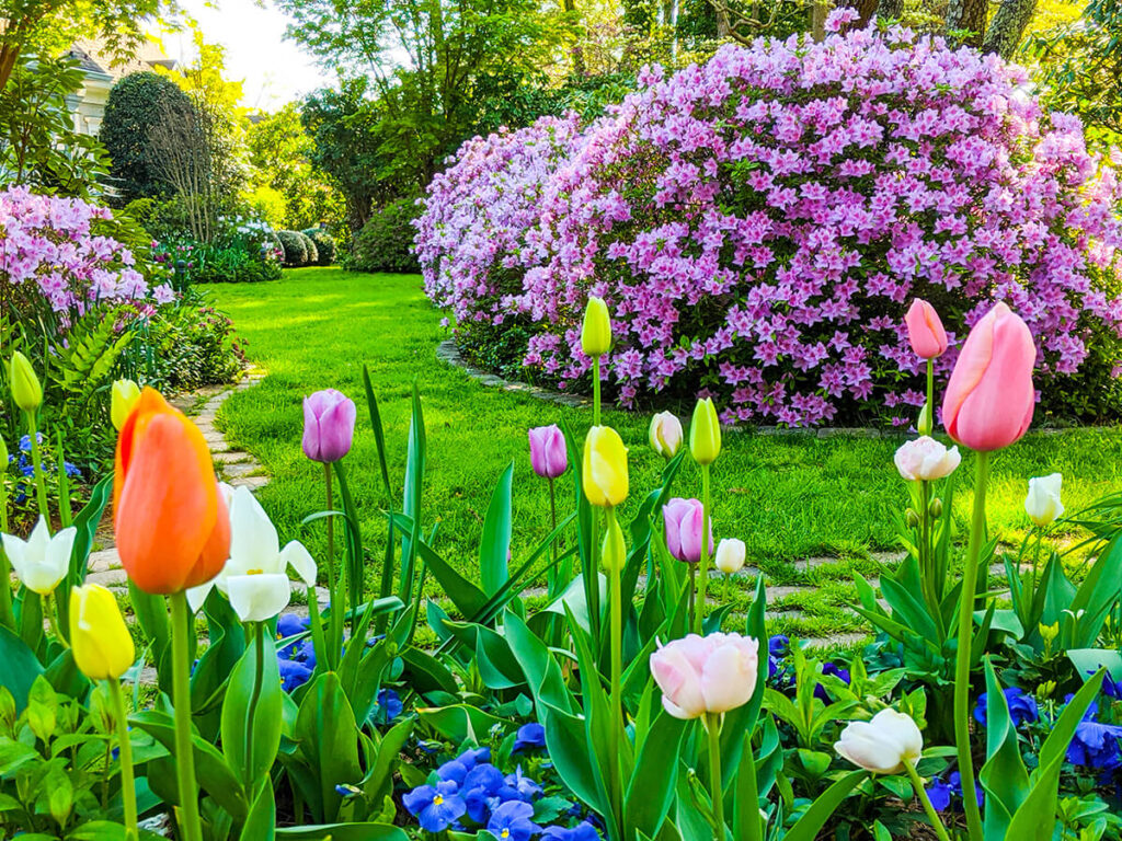 Spring tulips and azaleas welcome visitors to Mill Pond Garden.